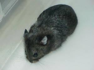 Dwarf hamster Colors  Dwarf hamster C...