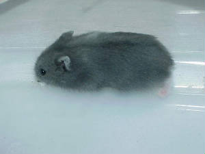 white dwarf hamster with red eyes - photo #26