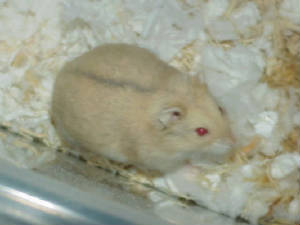 white dwarf hamster with red eyes - photo #16