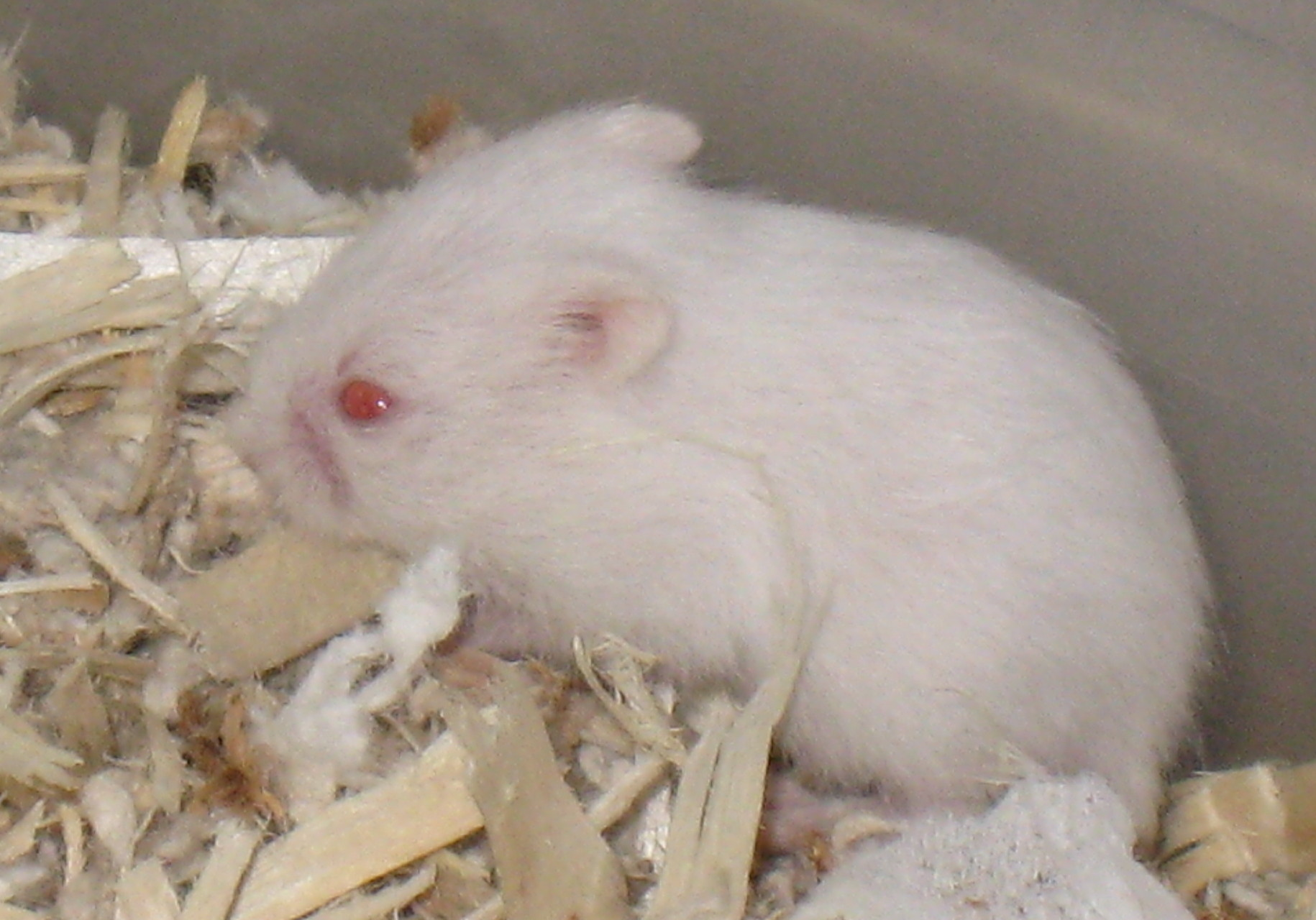 white dwarf hamster with red eyes - photo #2
